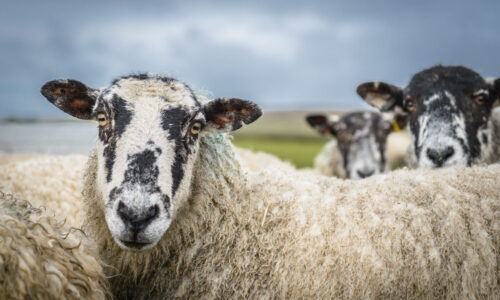 Sheep, rural work, farming secretarial services, Vicky Anderson Business Services